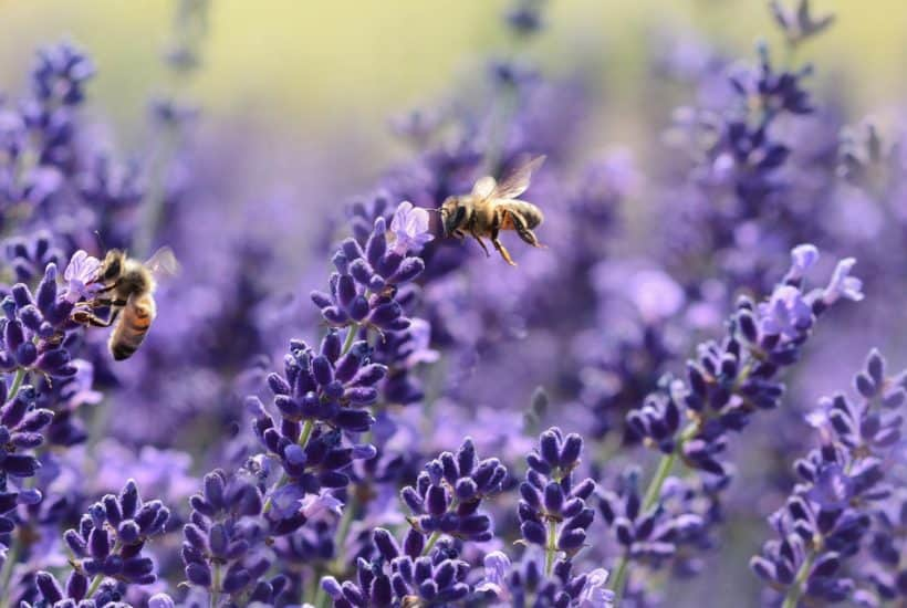 image of two bees sitting on purple flowers
